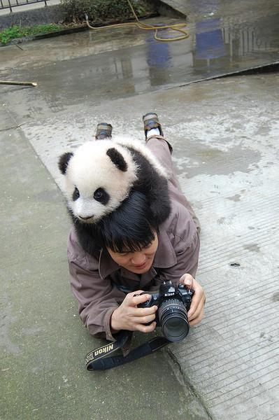panda-on-the-topd