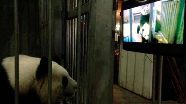 panda-por