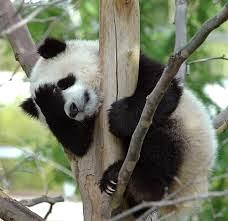 pandafacepalm
